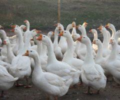Выгодно ли птицеводство в России