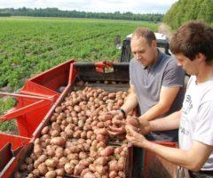 Картошка порусски отраслевые особенности и проблемы картофелеводства России