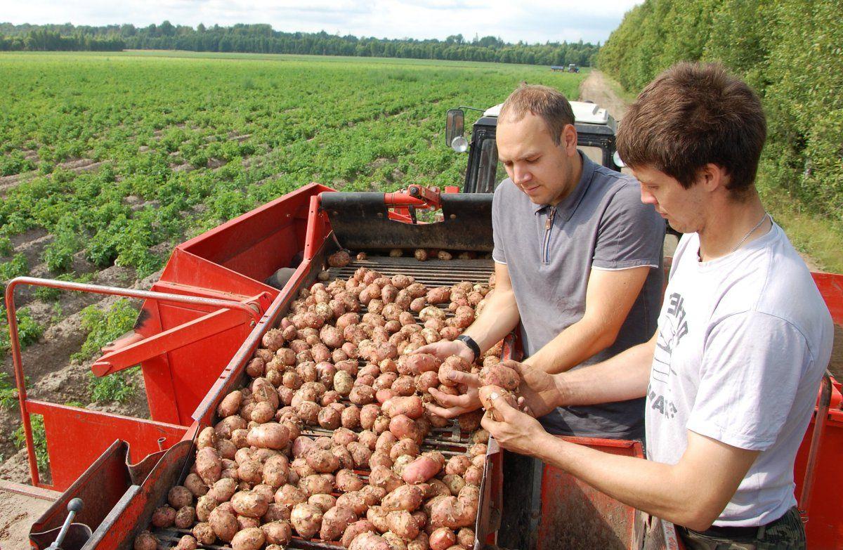 Картошка по-русски отраслевые особенности и проблемы картофелеводства России